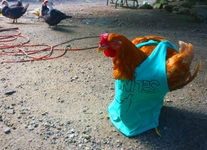 A rooster wearing a Gishwhes tank top. Snazzy.